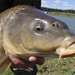 Карп – достойный соперник для рыболова